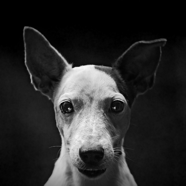 Jingdi my Jack Russell by Menoevil
