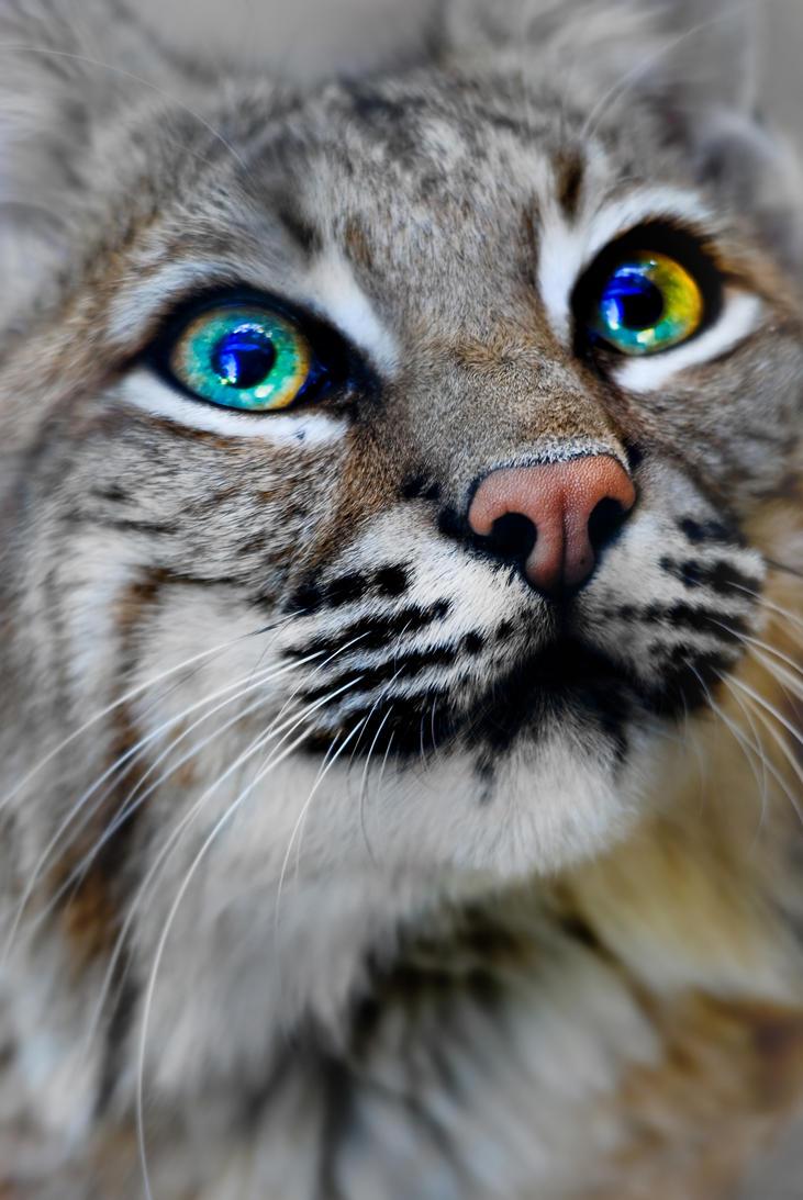 Bobcat By Yellowstoned On Deviantart