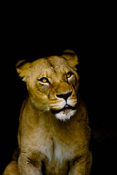 00922 Lioness by Yellowstoned