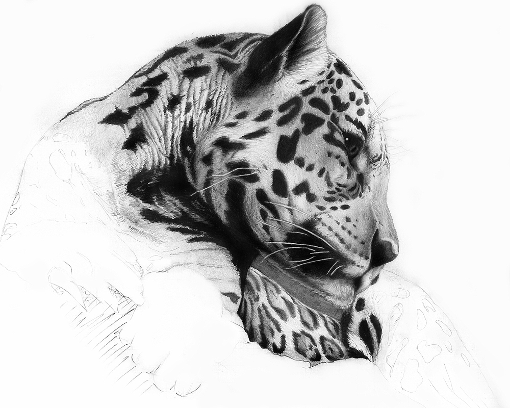 Panthera Onca WIP by ebonita