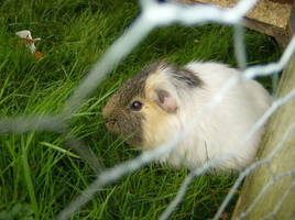 Guinea Pig by deanw666