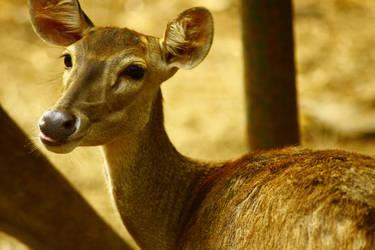 Baby Bambi by ibnuyahya