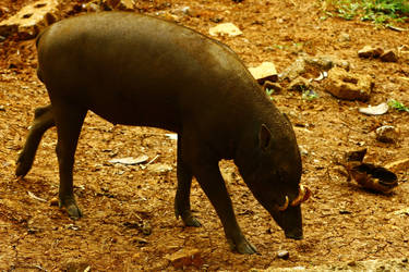 Babirusa or Pigdeer by ibnuyahya