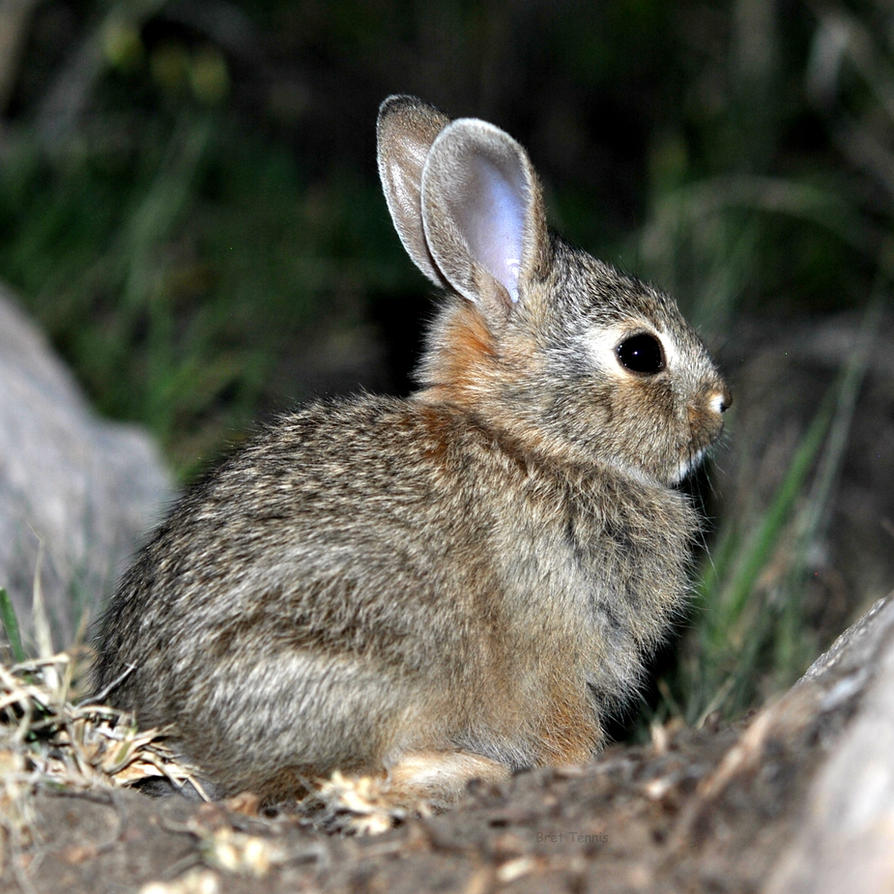 Baby cottontail rabbit - photo#9