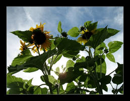 Sunflowers by MichelleMarie
