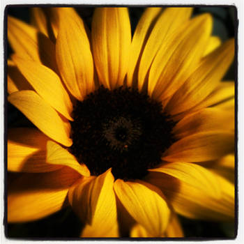 The Last Sun Flower by tastybedsore