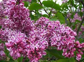 purples 'n stripes by intuciic