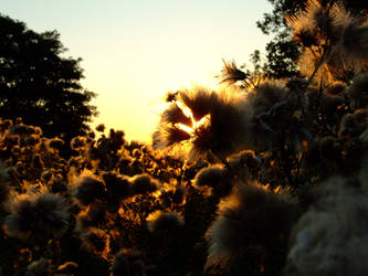 Thistledown sunset II by Nivienne