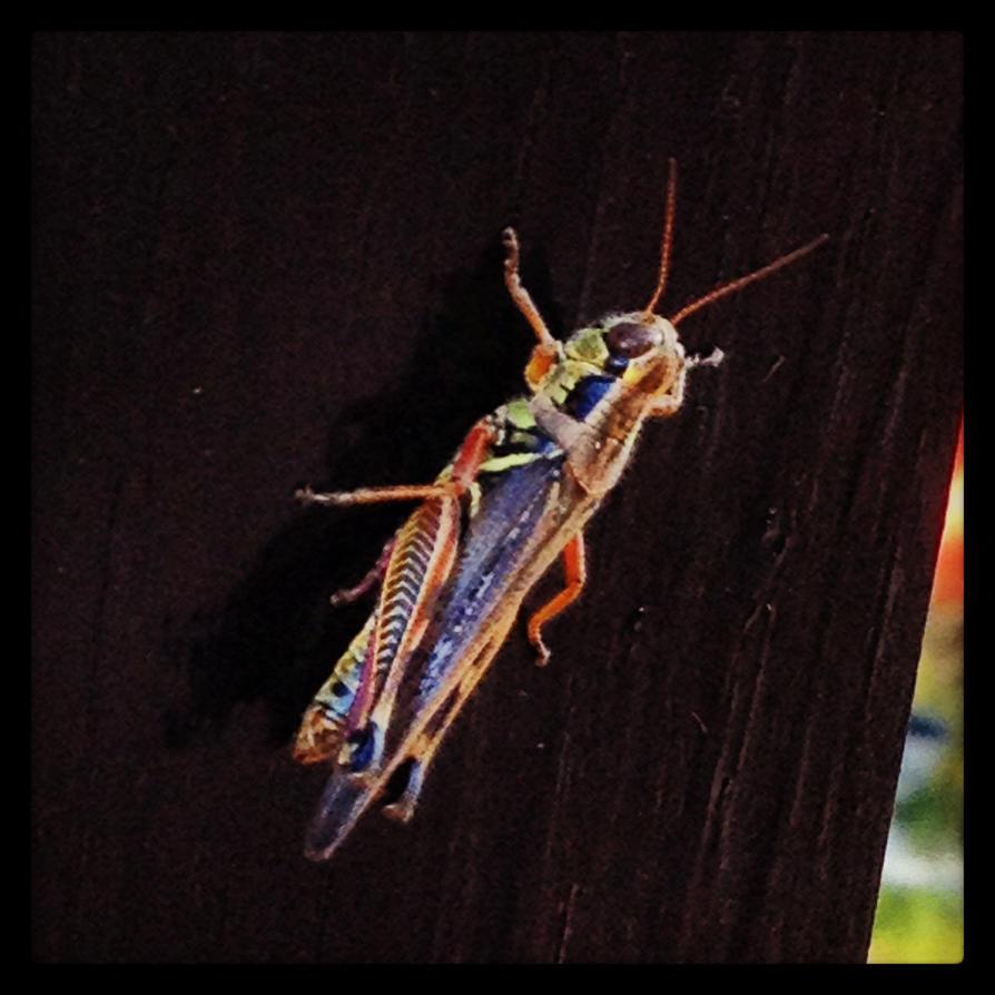 Grasshopper by nikkidutchy