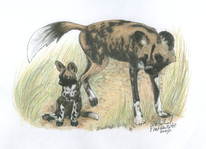 It is an image of Challenger African Wild Dog Drawing