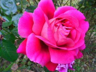 Rose by haruna3saito