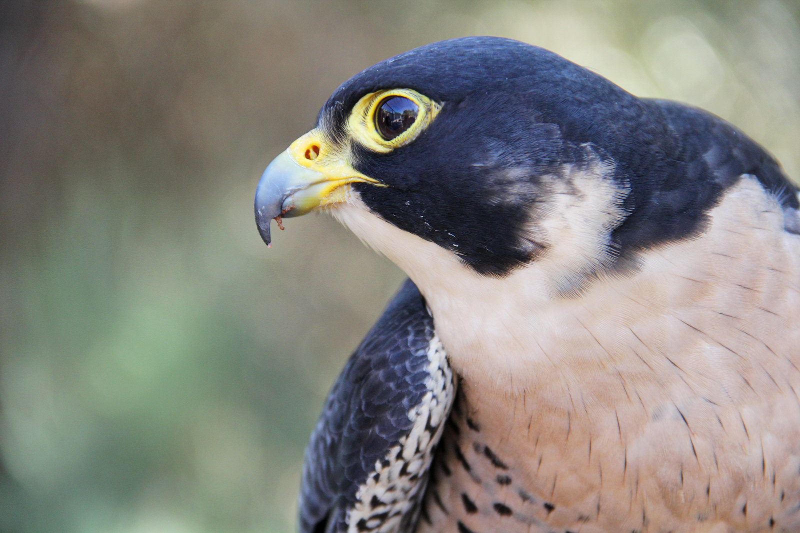 Peregrine by deliquescing