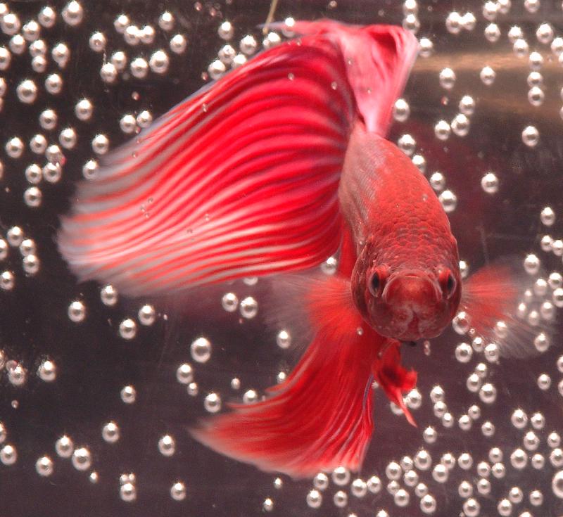 Betta fighting fish