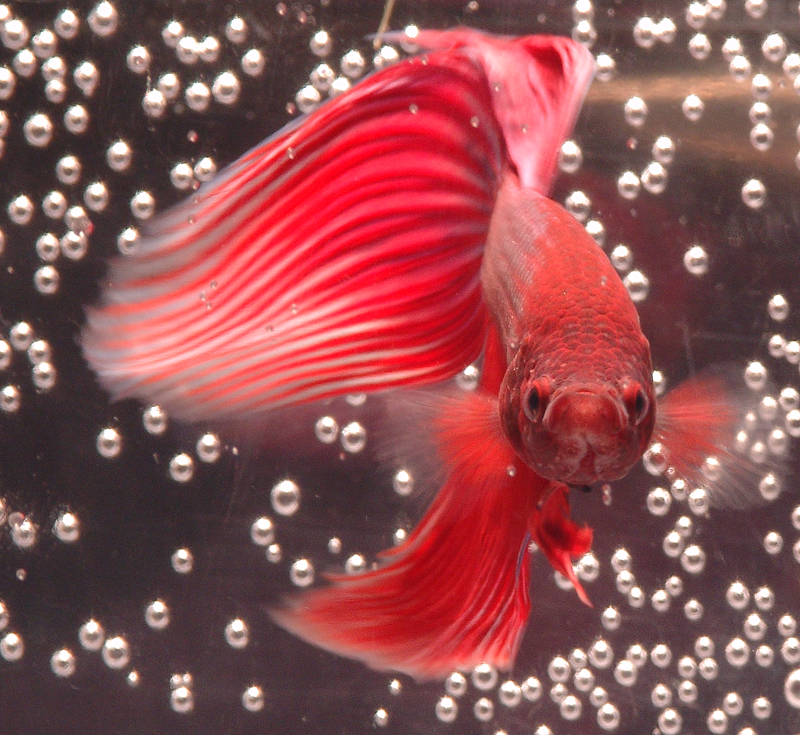 My siamese fighting fish by leadmarefan123 on deviantart for Betta fish bubbles