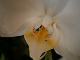 White Orchid by ShaaviDeNevoa