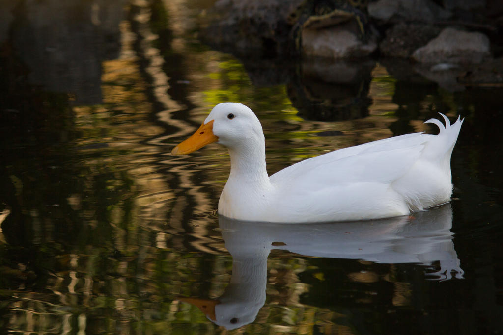 Duck by Claus0489