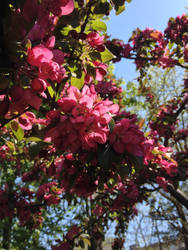 Crabapple Blossoms in Sunlight by 4pplemoon