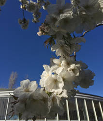 Ariake Cherry Blossoms by 4pplemoon