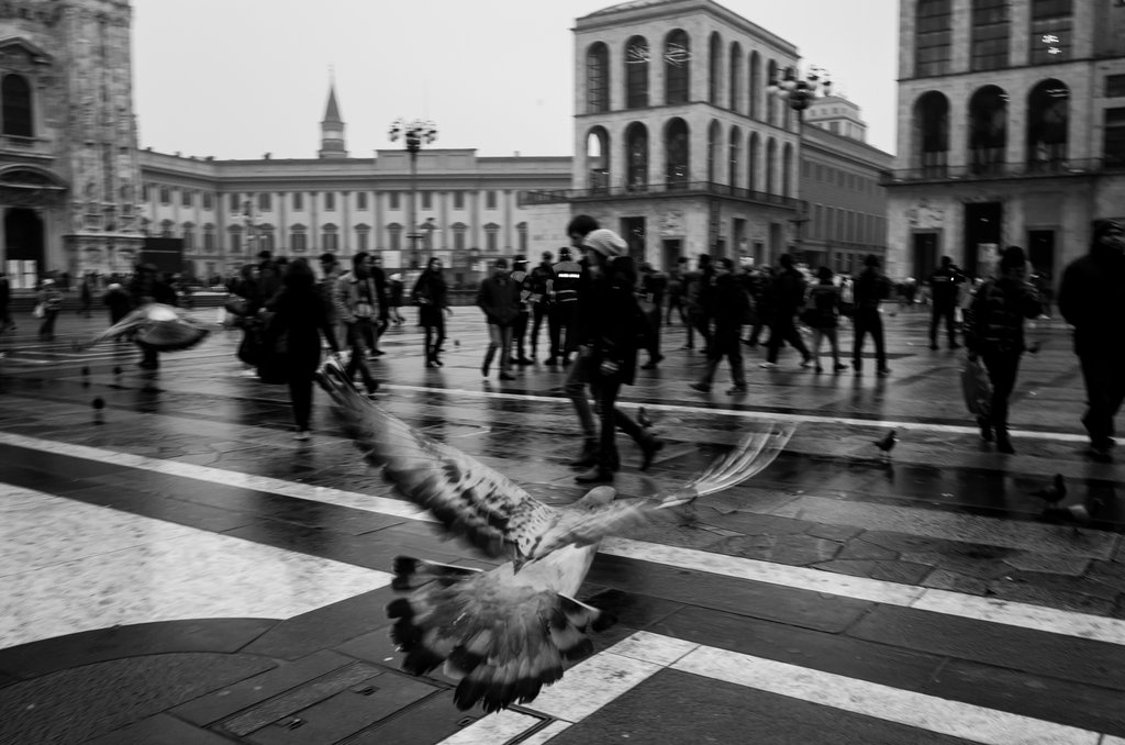 Pigeon by Elerko