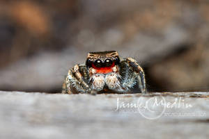 jumping spider 65 by JamesMedlin