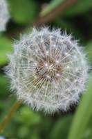 Soft Dandelion by Khrys90