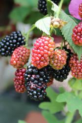 Blackberry in my garden.