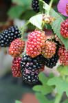 Blackberry in my garden. by Khrys90