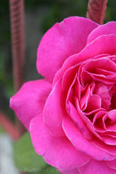 The last rose of my little garden