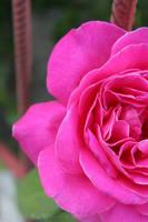 The last rose of my little garden by Khrys90