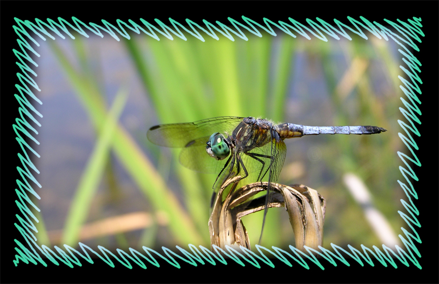 Blue Dasher by MuseSusan
