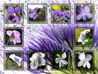 Violet Violets by MuseSusan