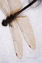Dragon Fly wings