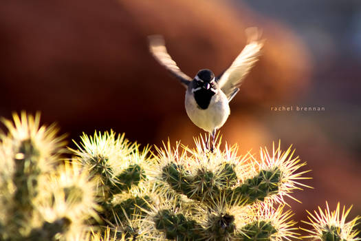 Black Throated Desert Sparrow