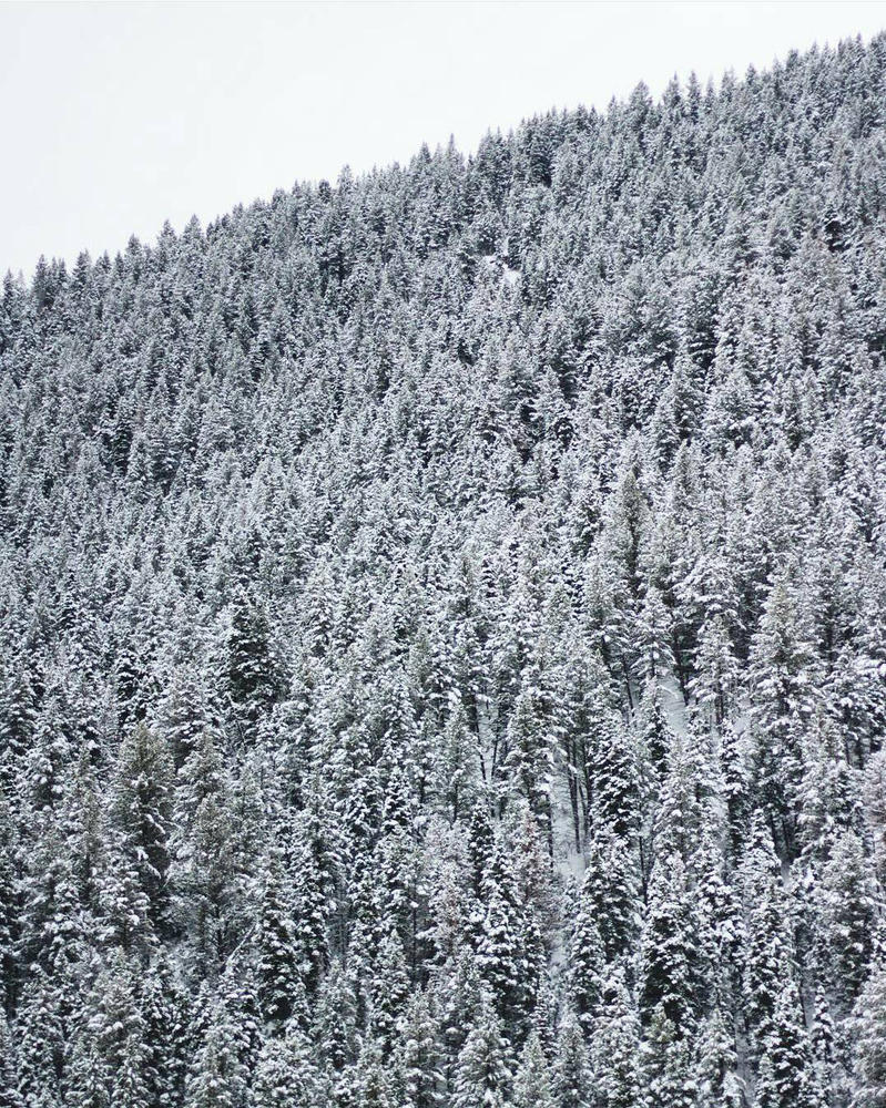 Sea of Snowy Evergreen by FirenzeLotus22