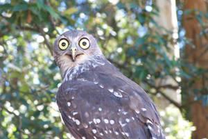 Owl by idril-telemnar