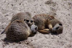 Meerkats by idril-telemnar