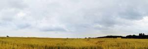 wheat panorama