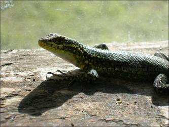 Lizard III by ephedrina-photos