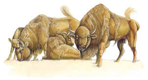 European Bison - Wisent