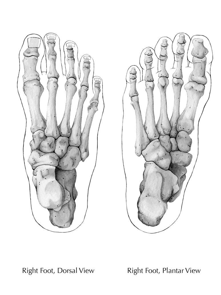 Bones of the Foot 2 by tiffanydavis on DeviantArt