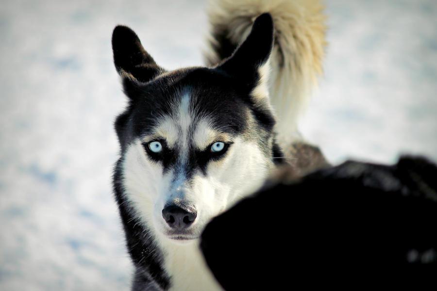 Blue Eyed Husky. by pasofino6 on DeviantArt