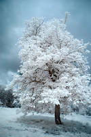 The Last Tree... by DavidCraigEllis