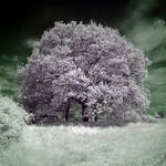 The Lilac Tree