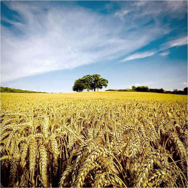 .: Wheat Field II :. by DavidCraigEllis
