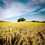 .: Wheat Field II :. by DavidCraigEllis
