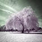 .: White Willow II :.