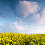 Herefordshire Rapeseed Field