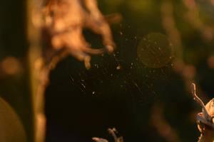 Morning Spider