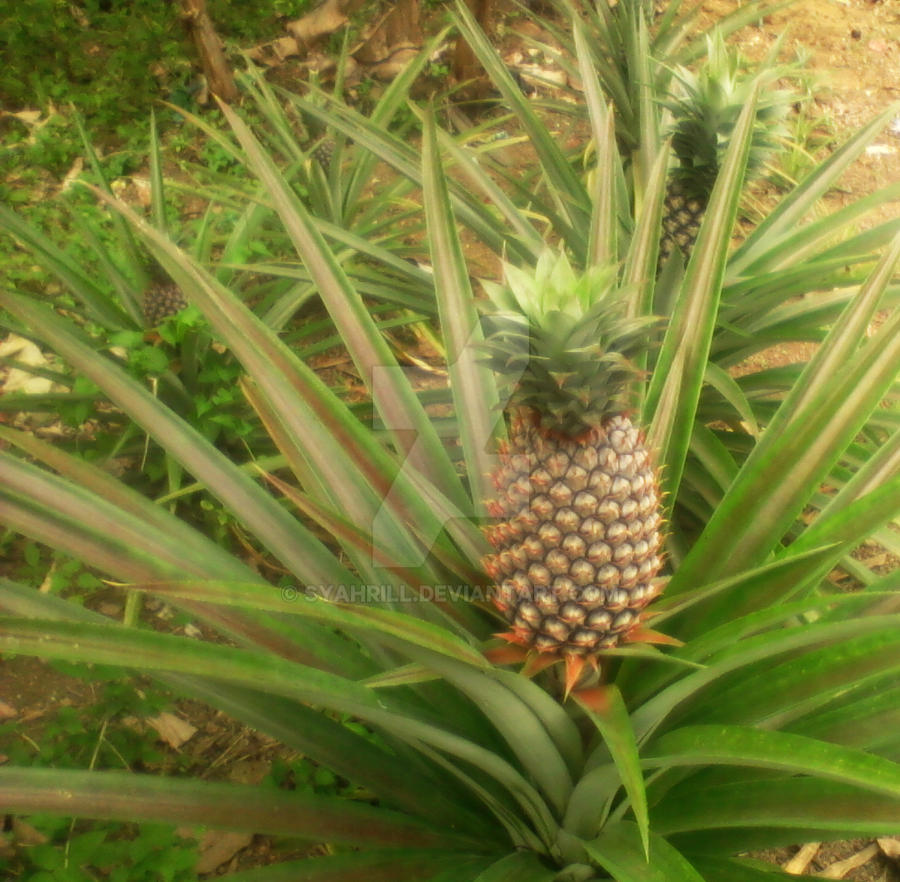 pine apple buddhist dating site Put yourself on the path to enlightenment and love when you join buddhist dating connect with other uk buddhists who are tired of going through life solo, buddhist dating.
