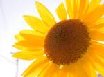 Sunflower a.k.a. Brightness